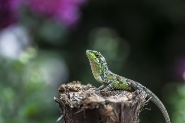 Chameleon in Ooty