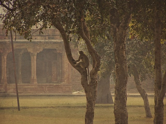 agra-monkey-miniature