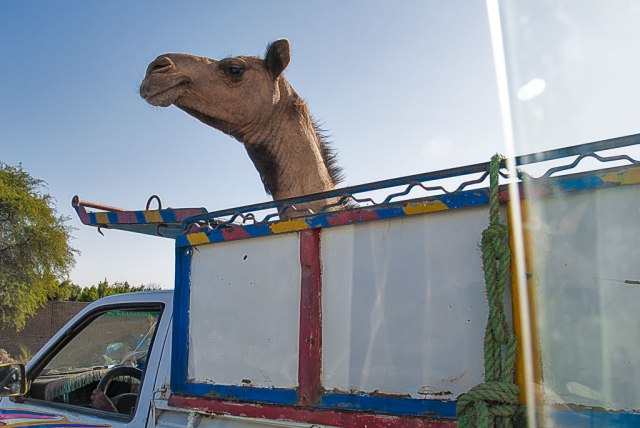 Camel-on-the-move