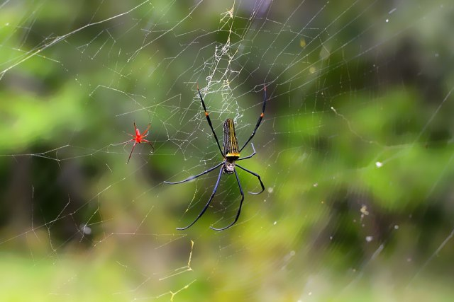 Shot with a 50mm lens on Nikon600, wish I had my macro handy for these designer spiders!