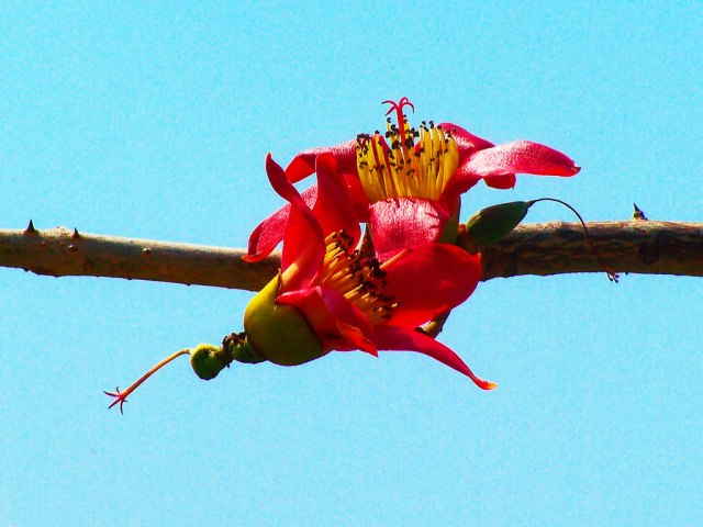 Thanks to the photo challenge theme, I now know that this is red flower belongs to the  red cotton tree and appears in the spring. This photo is from an album from 2008 shot on the very first digital camera I owned the 10x zoom Kodak easy share P7.