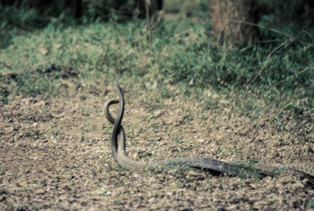 This was on a trip to Auroville, Pondicherry. The place where I stayed was in the middle of a thick forest. One evening on my way back I witnessed this amazing mating of rat snakes. They were at least 4 meters long.