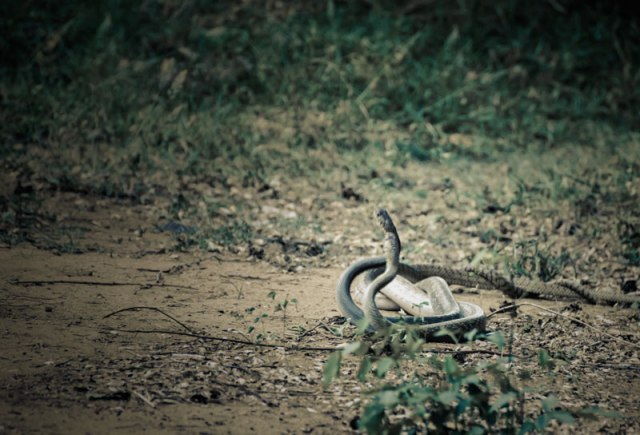 This was the sharpest in my lot of 20 images. The snakes were in a reverie with fading light to add to my worries.